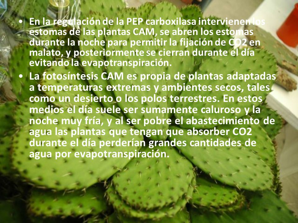 En la regulación de la PEP carboxilasa intervienen los estomas de las plantas CAM, se abren los estomas durante la noche para permitir la fijación de CO2 en malato, y posteriormente se cierran durante el día evitando la evapotranspiración.