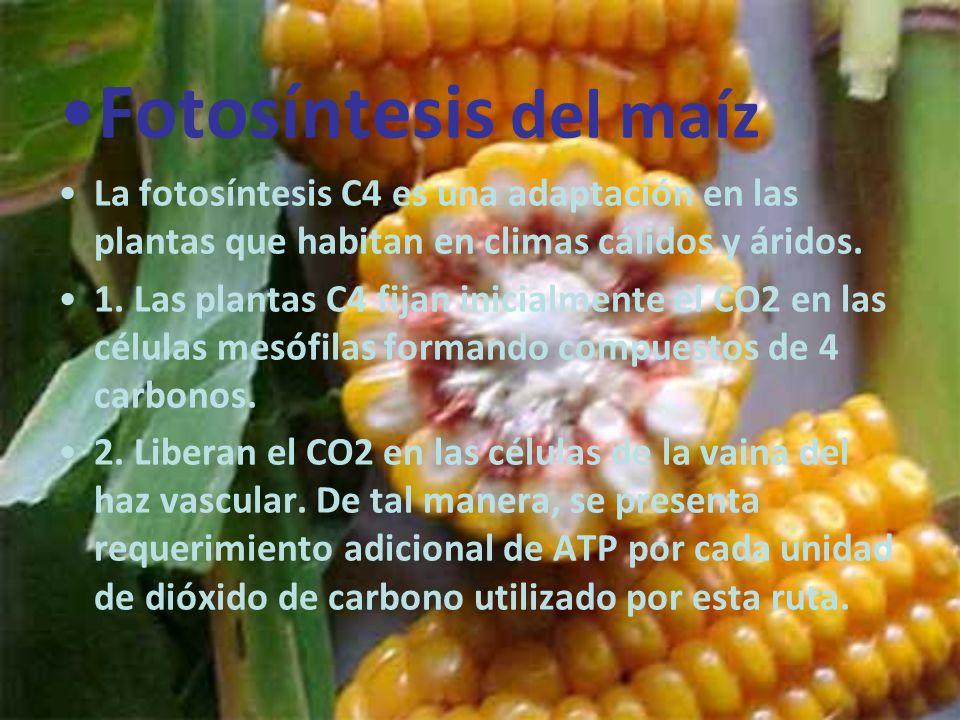 Fotosíntesis del maíz La fotosíntesis C4 es una adaptación en las plantas que habitan en climas cálidos y áridos.