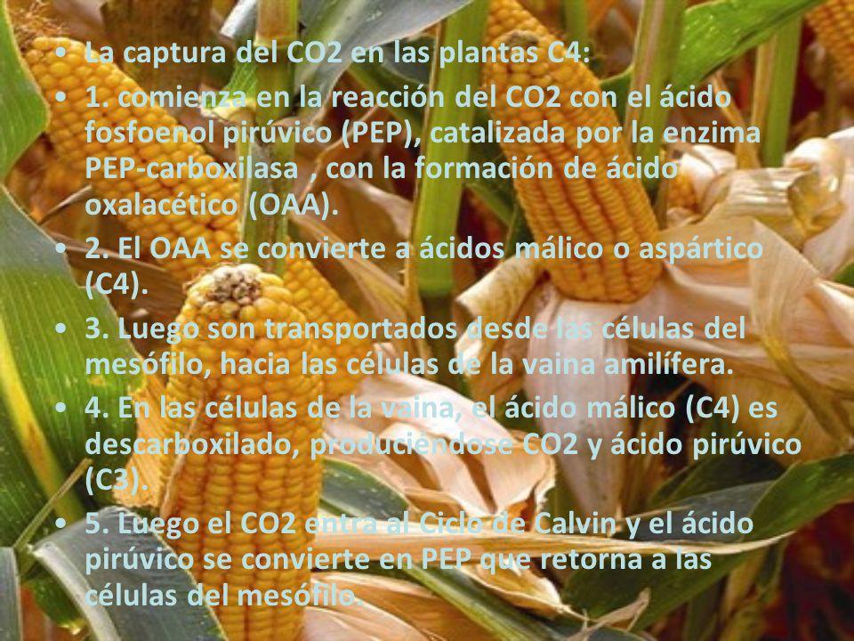 La captura del CO2 en las plantas C4: