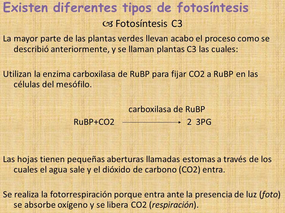 Existen diferentes tipos de fotosíntesis