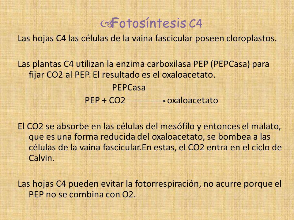 Fotosíntesis C4 Las hojas C4 las células de la vaina fascicular poseen cloroplastos.