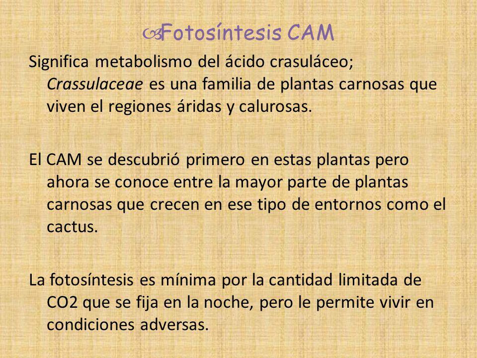 Fotosíntesis CAM