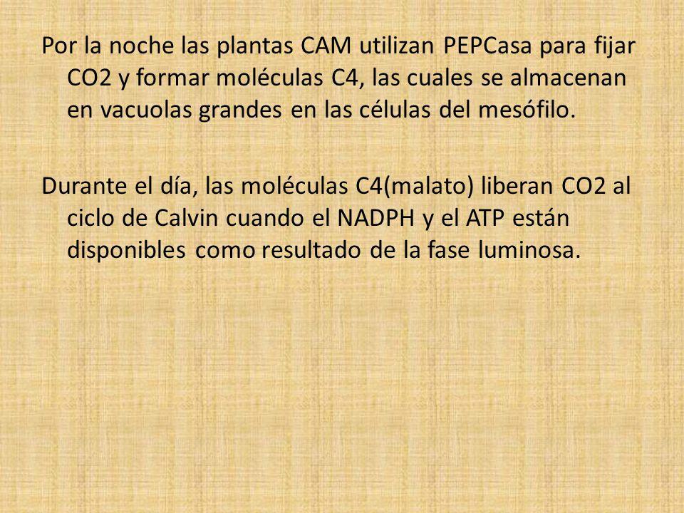 Por la noche las plantas CAM utilizan PEPCasa para fijar CO2 y formar moléculas C4, las cuales se almacenan en vacuolas grandes en las células del mesófilo.