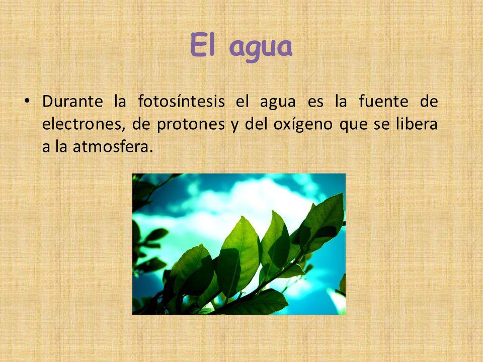 El agua Durante la fotosíntesis el agua es la fuente de electrones, de protones y del oxígeno que se libera a la atmosfera.