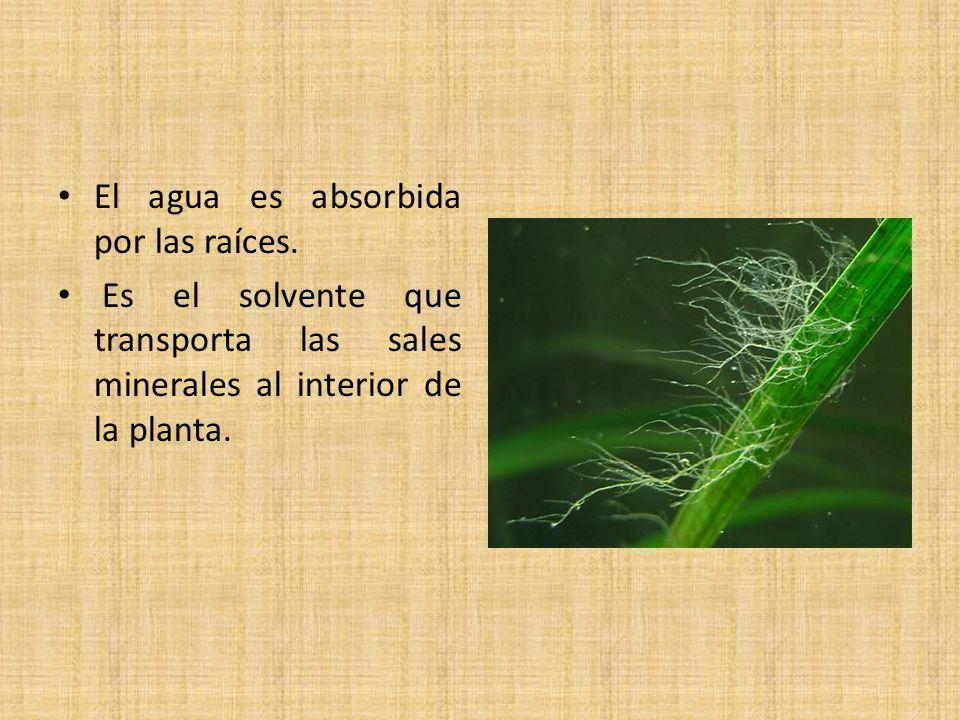 El agua es absorbida por las raíces.