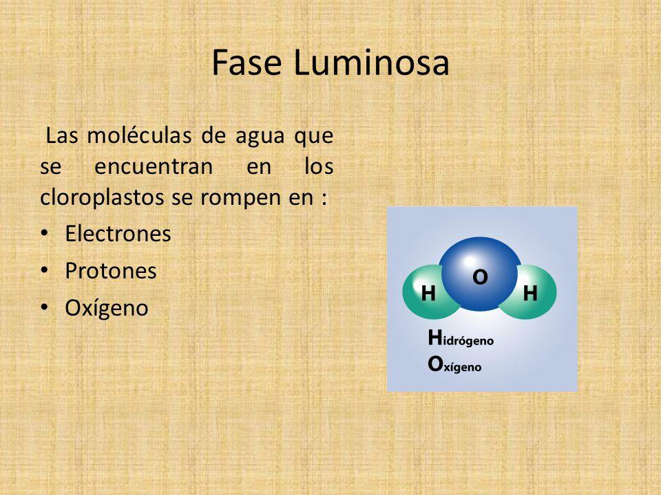 Fase Luminosa Las moléculas de agua que se encuentran en los cloroplastos se rompen en : Electrones.