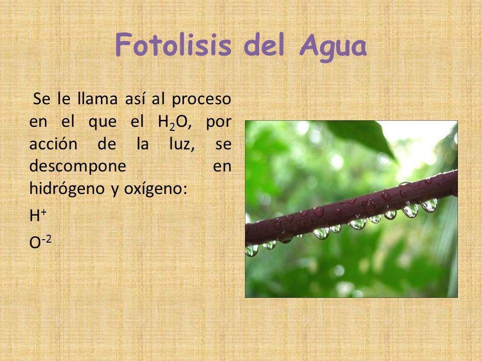Fotolisis del Agua Se le llama así al proceso en el que el H2O, por acción de la luz, se descompone en hidrógeno y oxígeno: H+ O-2