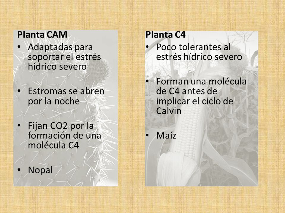 Planta CAM Adaptadas para soportar el estrés hídrico severo. Estromas se abren por la noche. Fijan CO2 por la formación de una molécula C4.