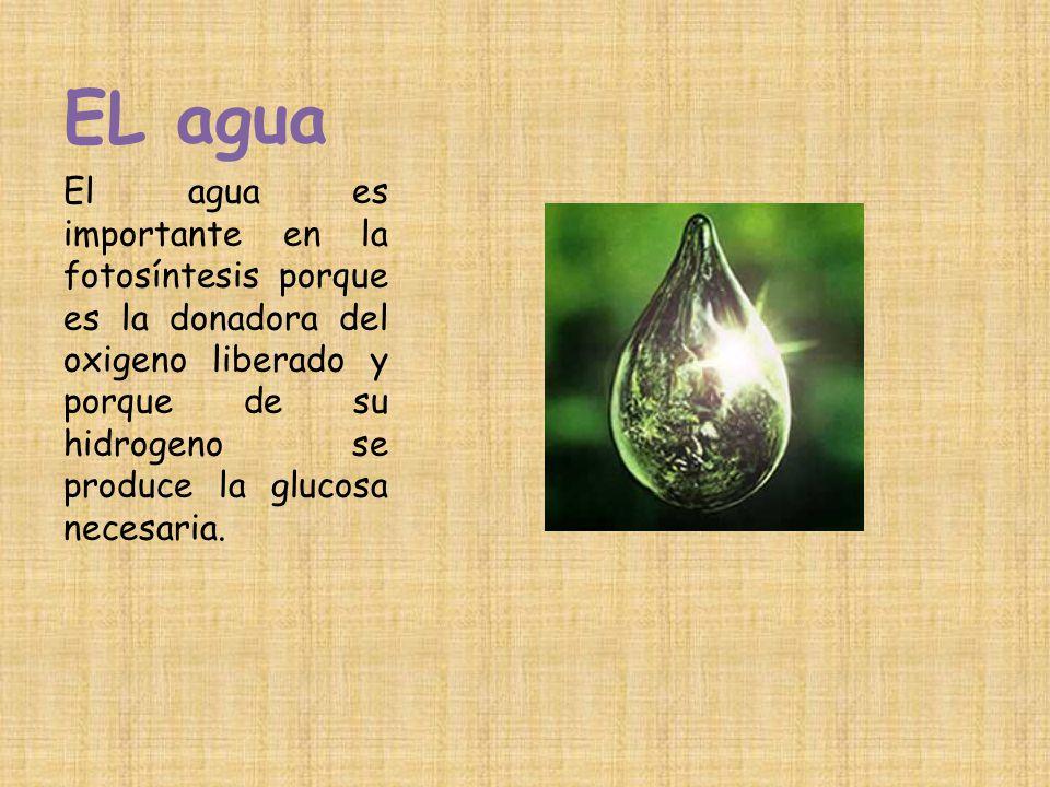 EL agua El agua es importante en la fotosíntesis porque es la donadora del oxigeno liberado y porque de su hidrogeno se produce la glucosa necesaria.