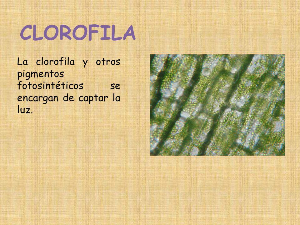 CLOROFILA La clorofila y otros pigmentos fotosintéticos se encargan de captar la luz.