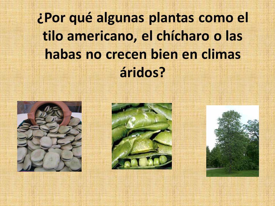 ¿Por qué algunas plantas como el tilo americano, el chícharo o las habas no crecen bien en climas áridos