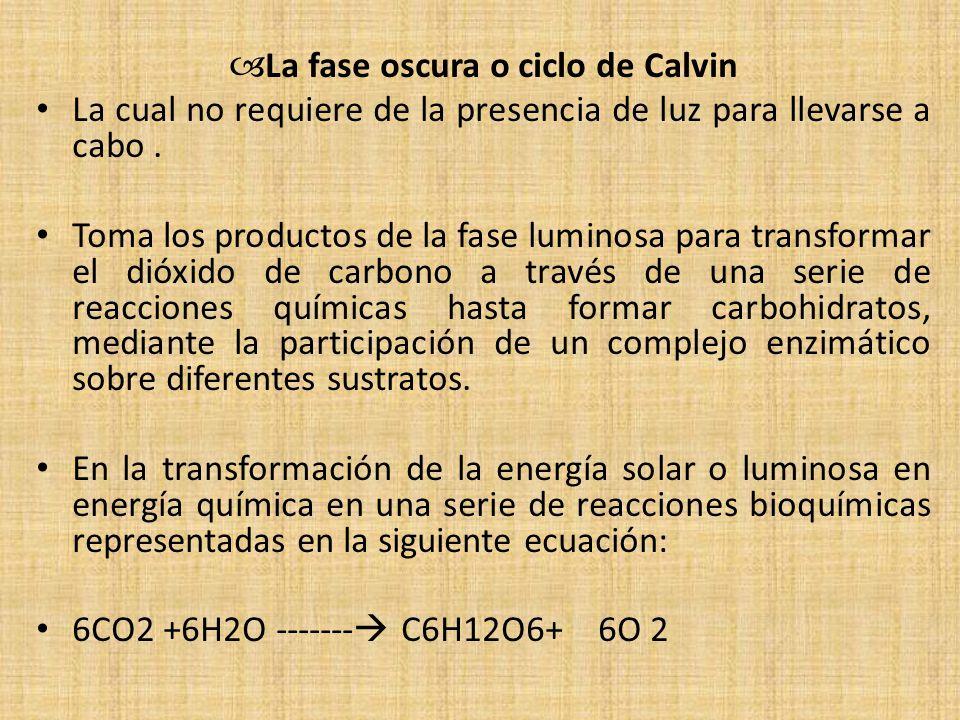 La fase oscura o ciclo de Calvin