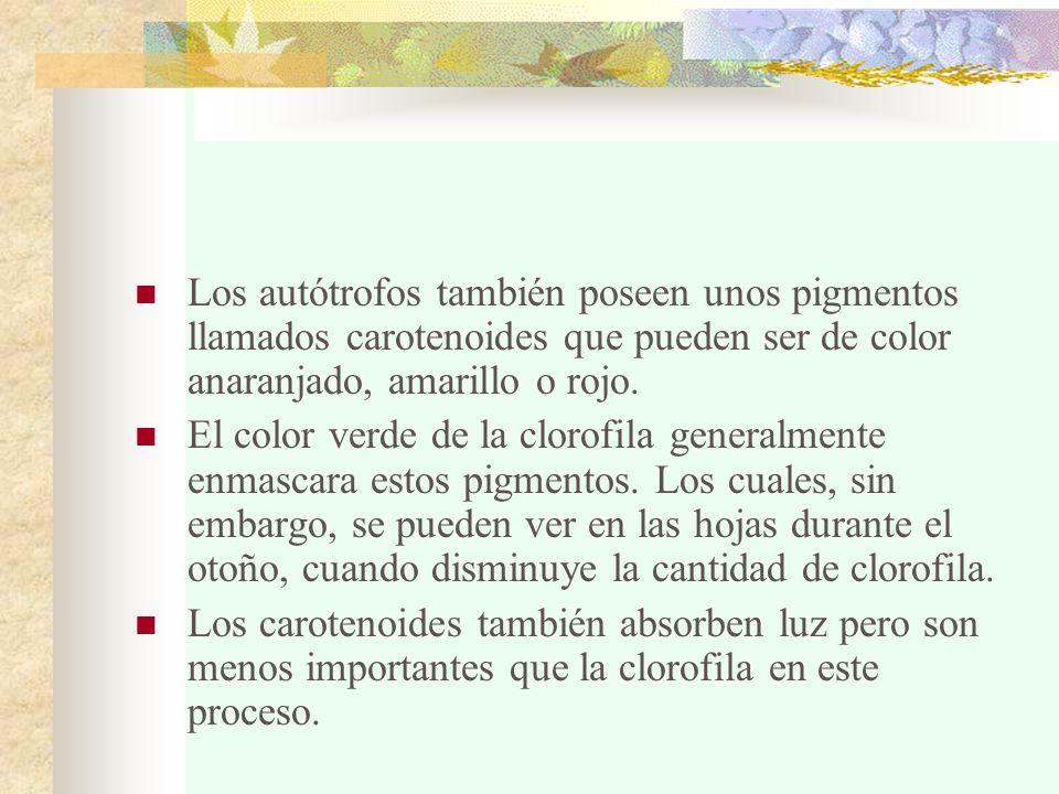 Los autótrofos también poseen unos pigmentos llamados carotenoides que pueden ser de color anaranjado, amarillo o rojo.