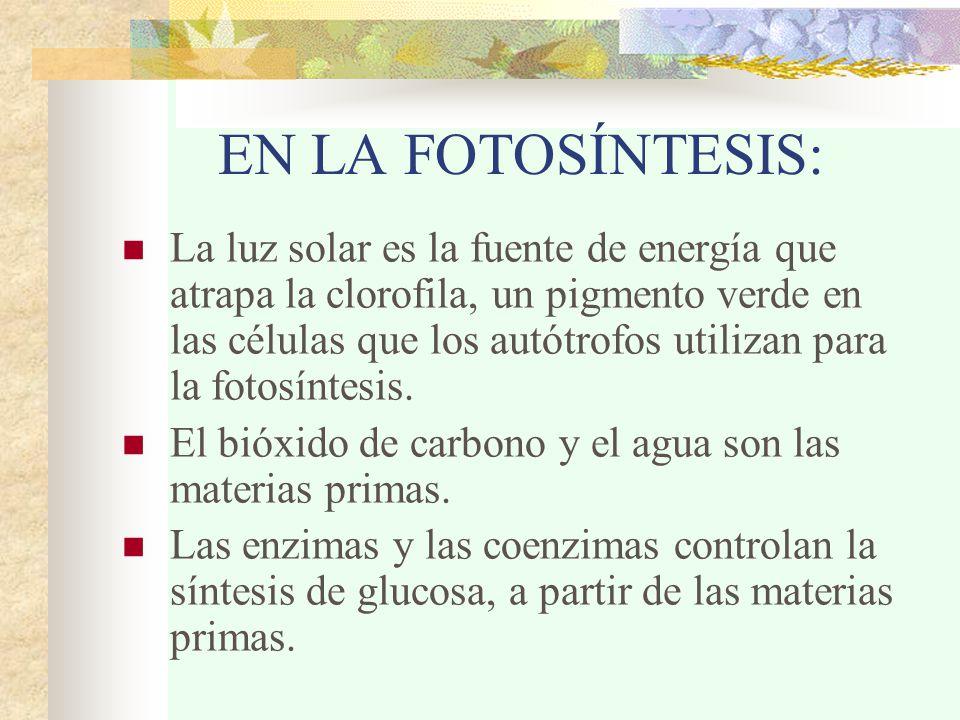 EN LA FOTOSÍNTESIS: