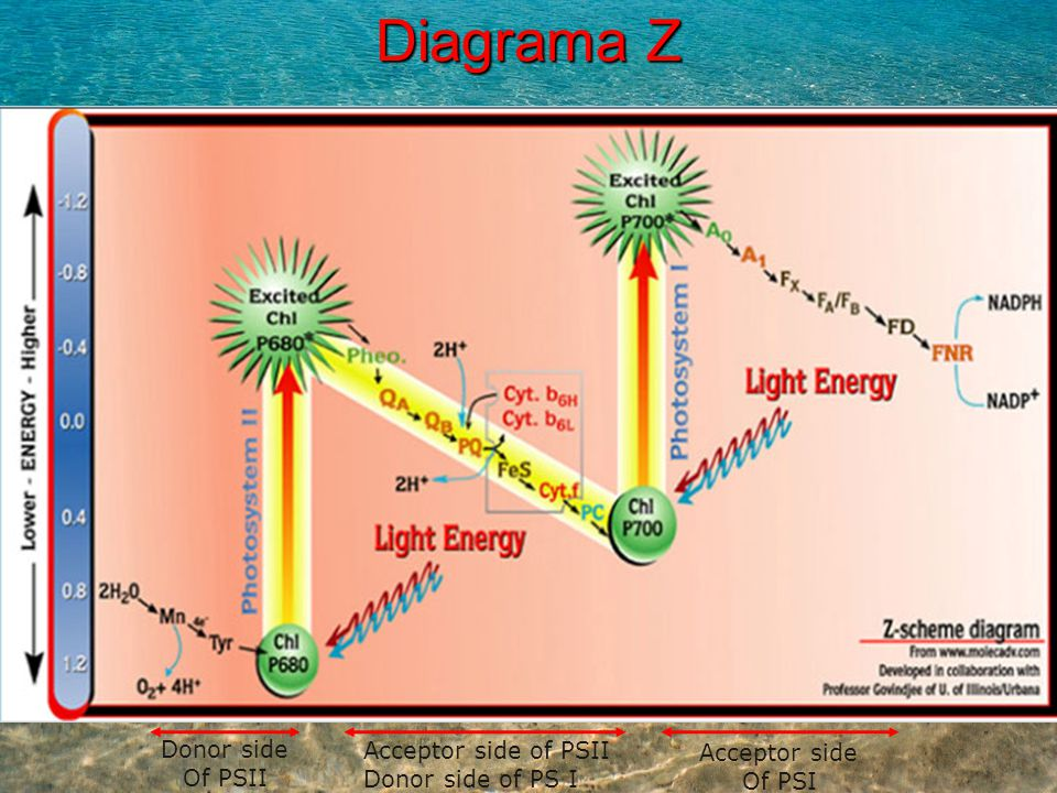 Diagrama Z Donor side Acceptor side of PSII Acceptor side Of PSII