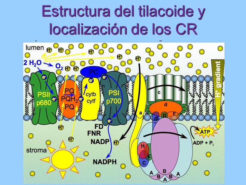 Estructura del tilacoide y localización de los CR