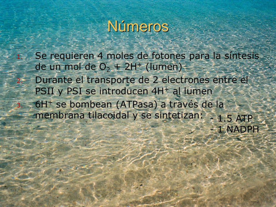 Números Se requieren 4 moles de fotones para la síntesis de un mol de O2 + 2H+ (lumen)