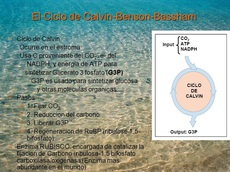 El Ciclo de Calvin-Benson-Bassham