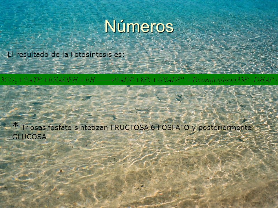 Números El resultado de la Fotosíntesis es: * Triosas fosfato sintetizan FRUCTOSA 6 FOSFATO y posteriormente GLUCOSA.