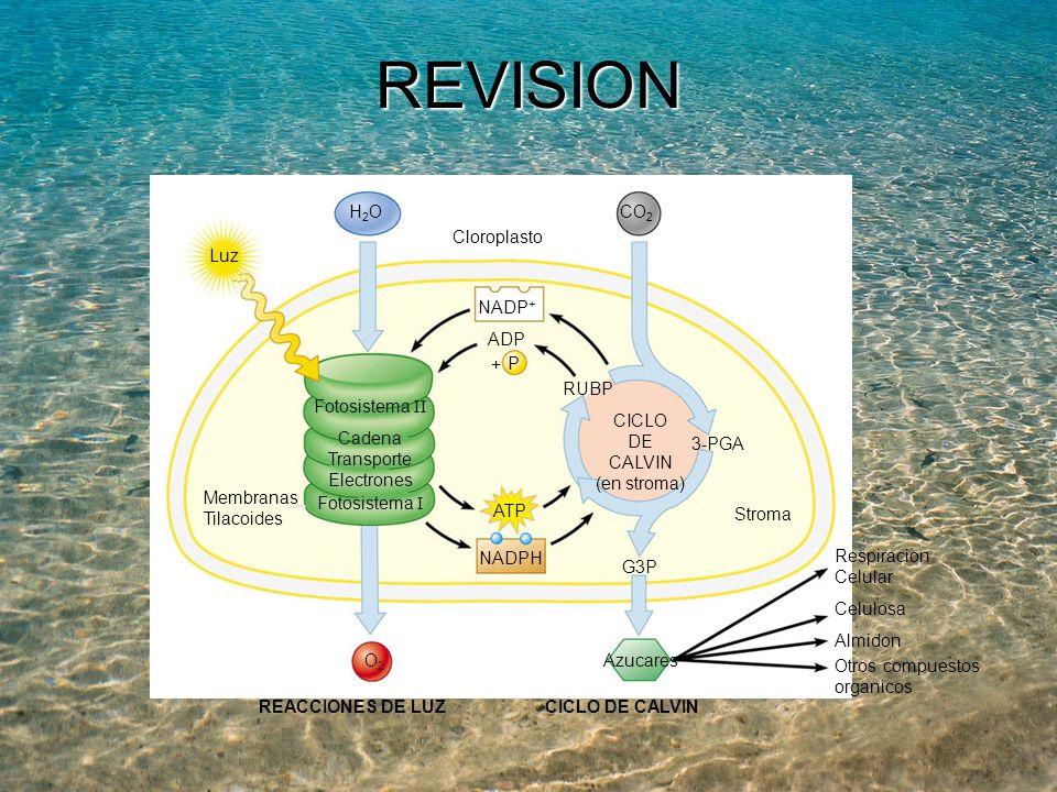 REVISION Luz H2O CO2 NADP+ Fotosistema II Fotosistema I Cadena