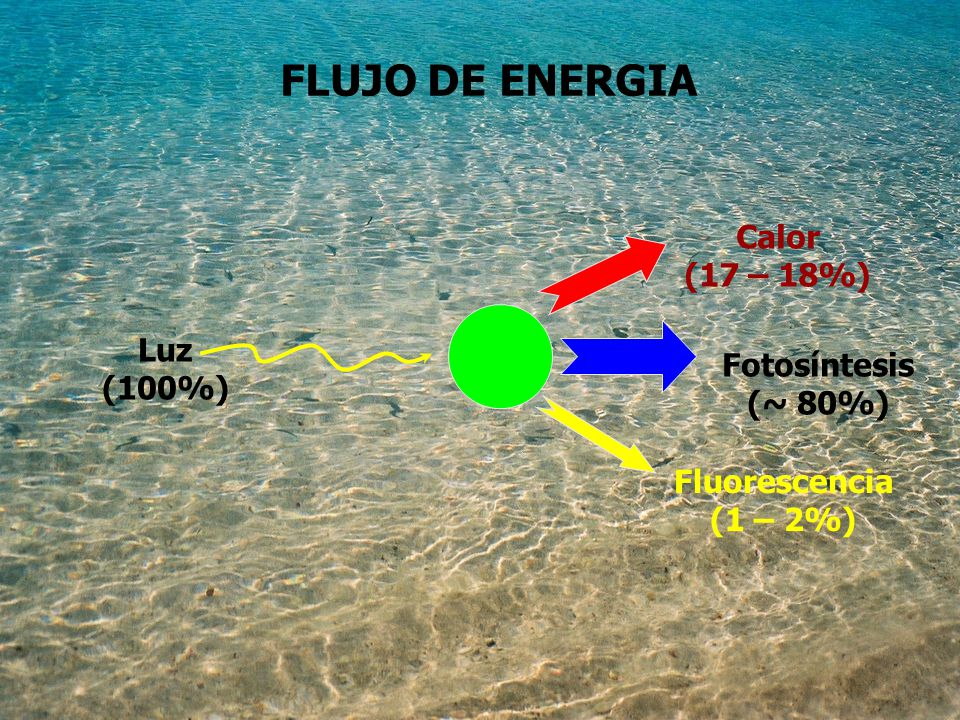 FLUJO DE ENERGIA Calor (17 – 18%) Luz Fotosíntesis (100%) (~ 80%)