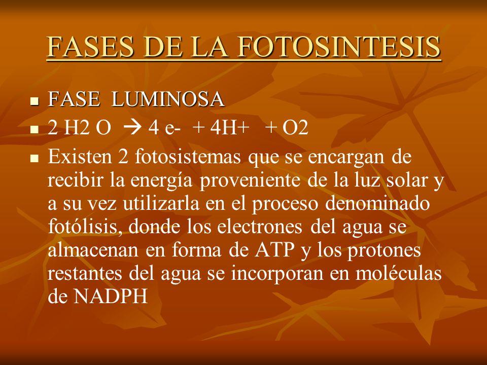 FASES DE LA FOTOSINTESIS