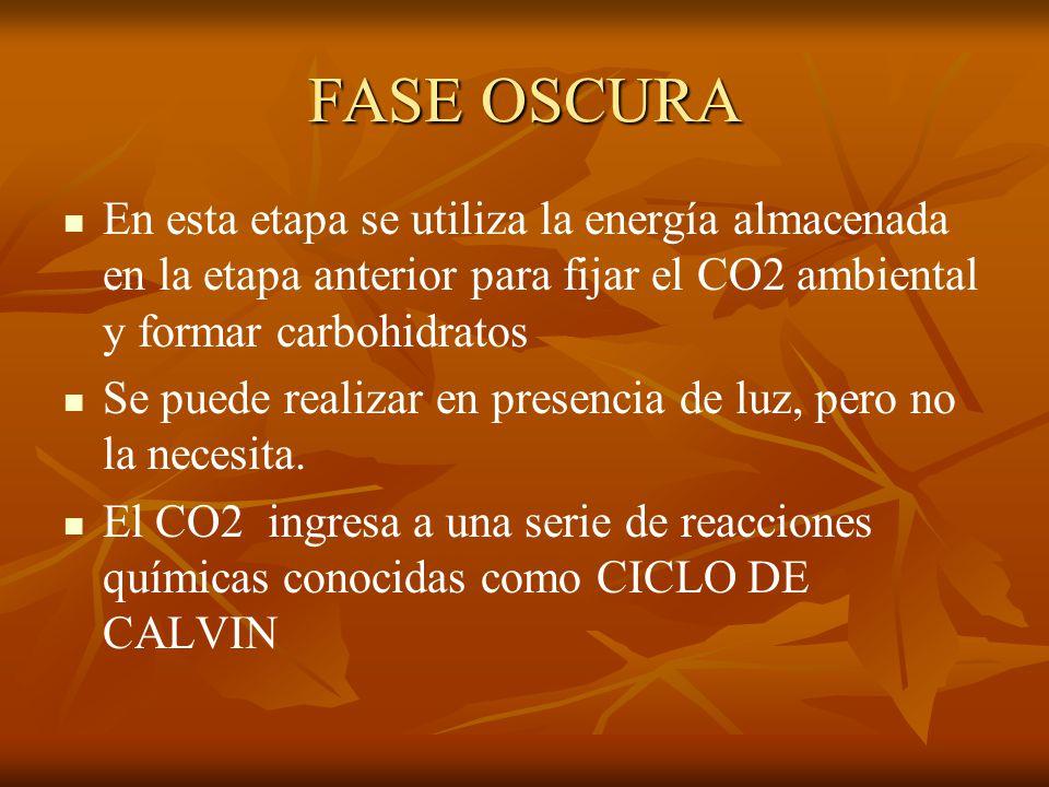 FASE OSCURA En esta etapa se utiliza la energía almacenada en la etapa anterior para fijar el CO2 ambiental y formar carbohidratos.