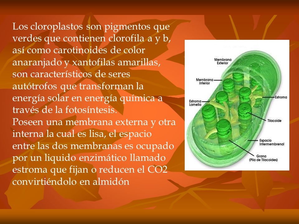 Los cloroplastos son pigmentos que verdes que contienen clorofila a y b, así como carotinoides de color anaranjado y xantofilas amarillas, son característicos de seres autótrofos que transforman la energía solar en energía química a través de la fotosíntesis.