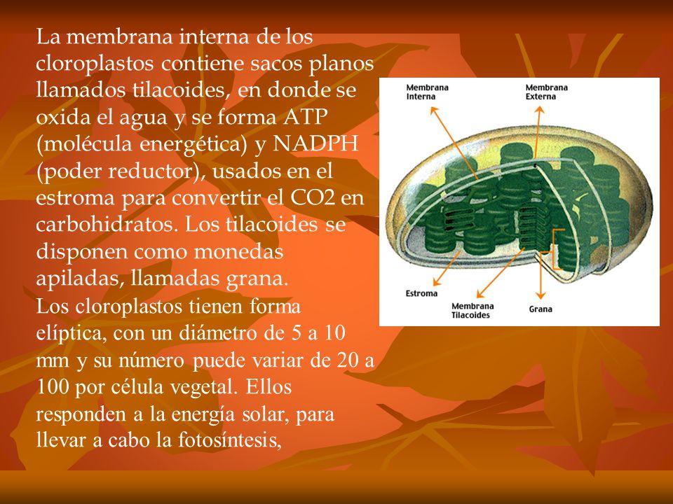 La membrana interna de los cloroplastos contiene sacos planos llamados tilacoides, en donde se oxida el agua y se forma ATP (molécula energética) y NADPH (poder reductor), usados en el estroma para convertir el CO2 en carbohidratos. Los tilacoides se disponen como monedas apiladas, llamadas grana.