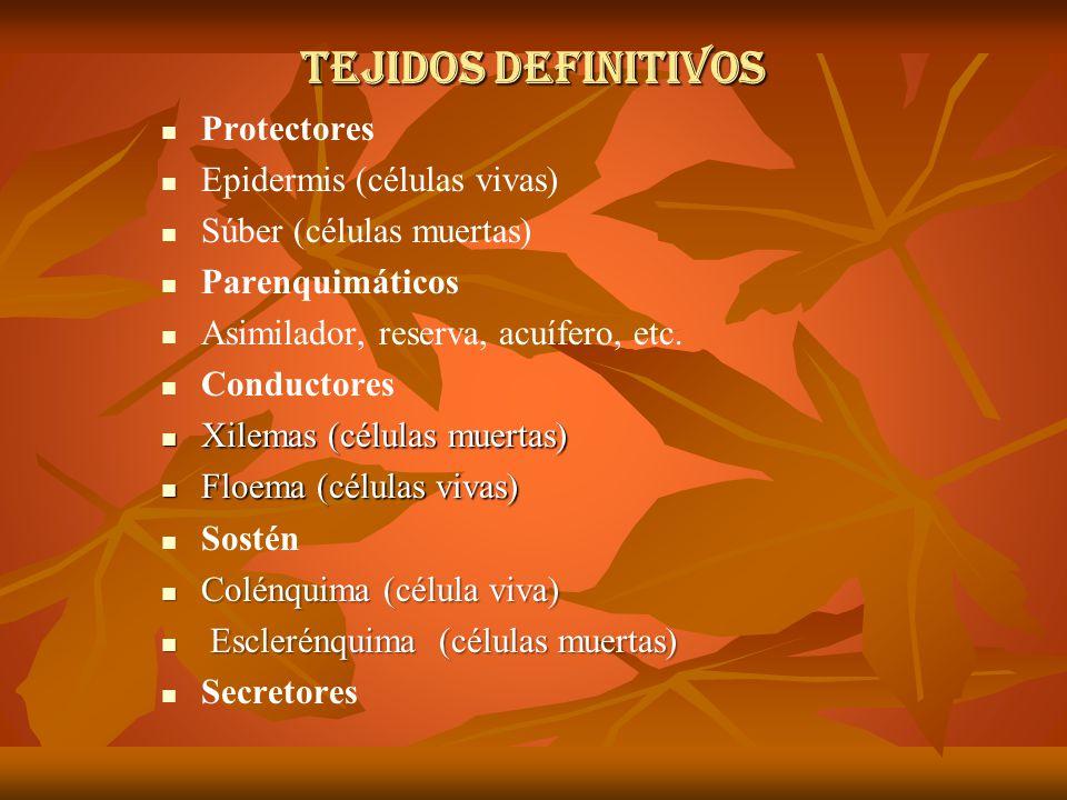 TEJIDOS DEFINITIVOS Protectores Epidermis (células vivas)