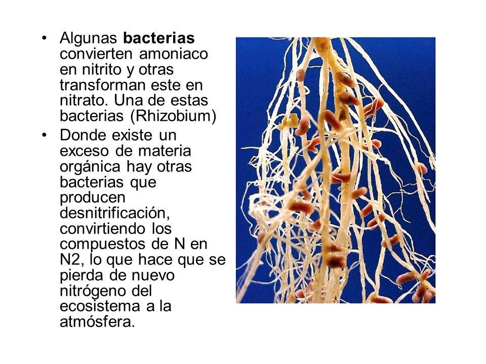 Algunas bacterias convierten amoniaco en nitrito y otras transforman este en nitrato. Una de estas bacterias (Rhizobium)