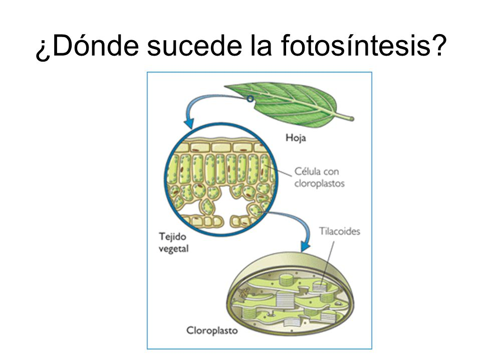 ¿Dónde sucede la fotosíntesis