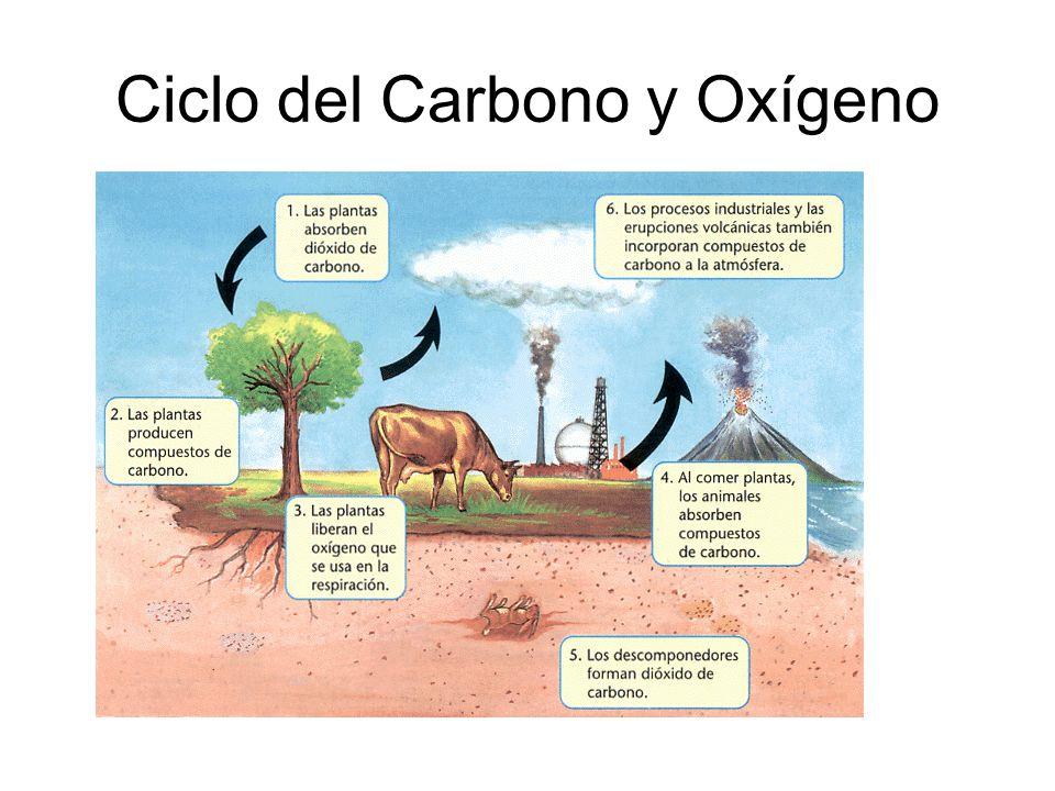 Ciclo del Carbono y Oxígeno