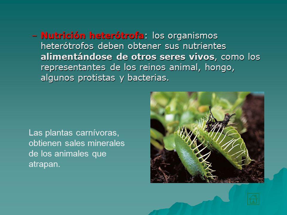 Nutrición heterótrofa: los organismos heterótrofos deben obtener sus nutrientes alimentándose de otros seres vivos, como los representantes de los reinos animal, hongo, algunos protistas y bacterias.