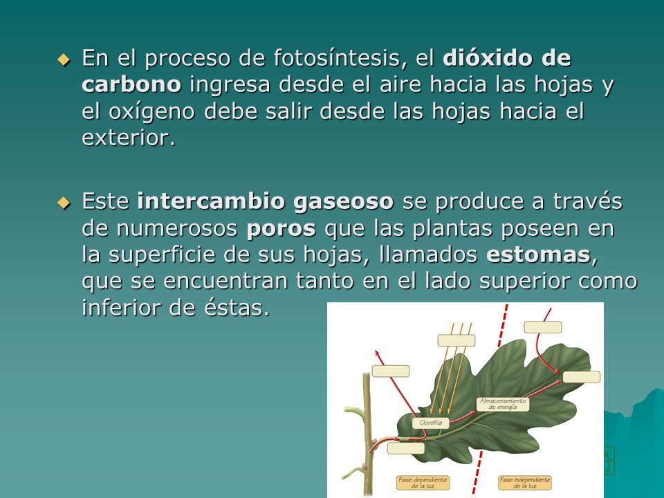 En el proceso de fotosíntesis, el dióxido de carbono ingresa desde el aire hacia las hojas y el oxígeno debe salir desde las hojas hacia el exterior.