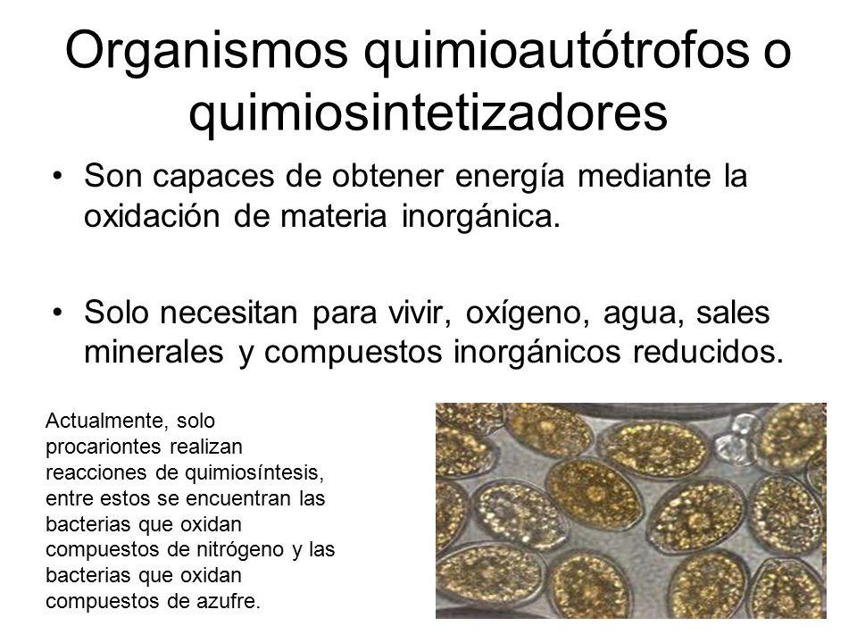Organismos quimioautótrofos o quimiosintetizadores