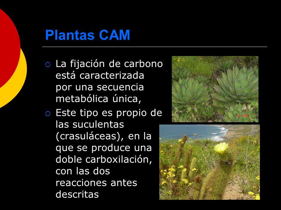 Plantas CAM La fijación de carbono está caracterizada por una secuencia metabólica única,