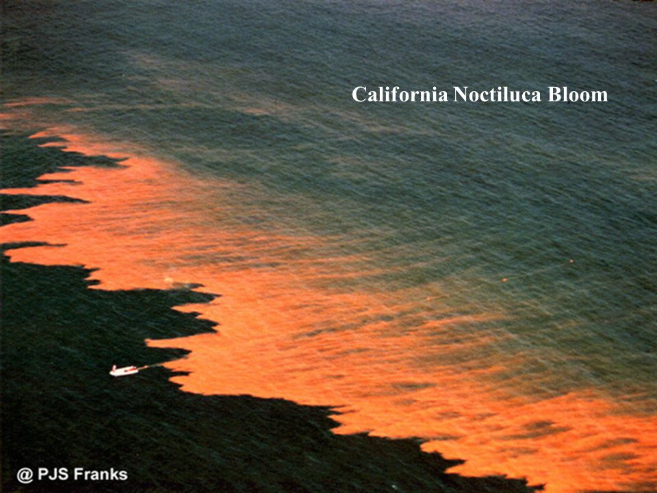 California Noctiluca Bloom