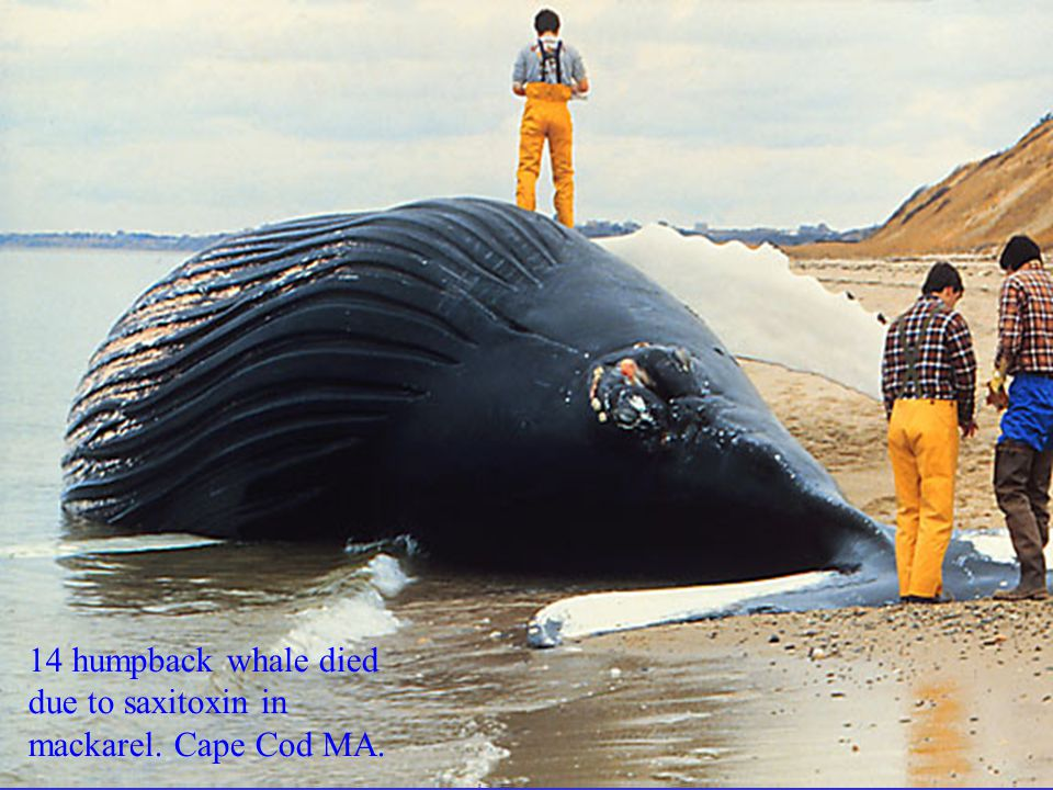 14 humpback whale died due to saxitoxin in mackarel. Cape Cod MA.