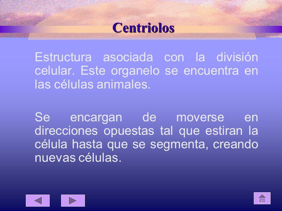 Centriolos Estructura asociada con la división celular. Este organelo se encuentra en las células animales.