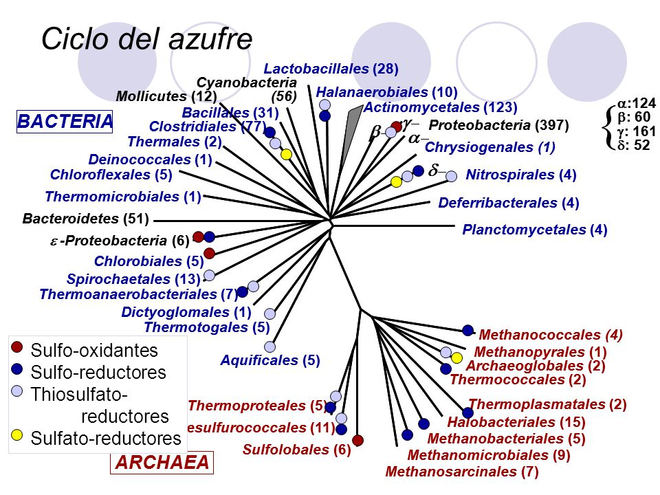 { Ciclo del azufre g- d- ARCHAEA BACTERIA a- b- Sulfo-oxidantes