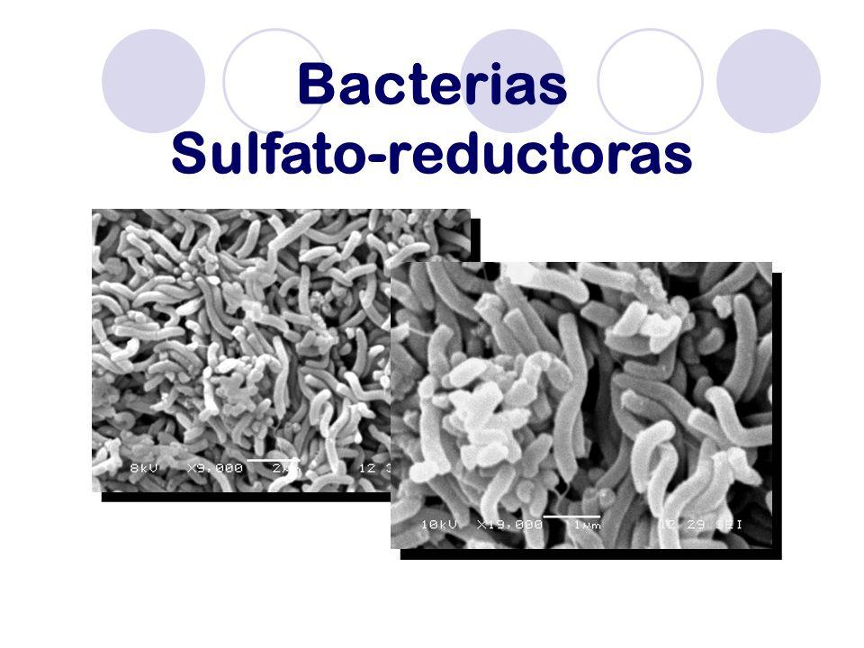 Bacterias Sulfato-reductoras