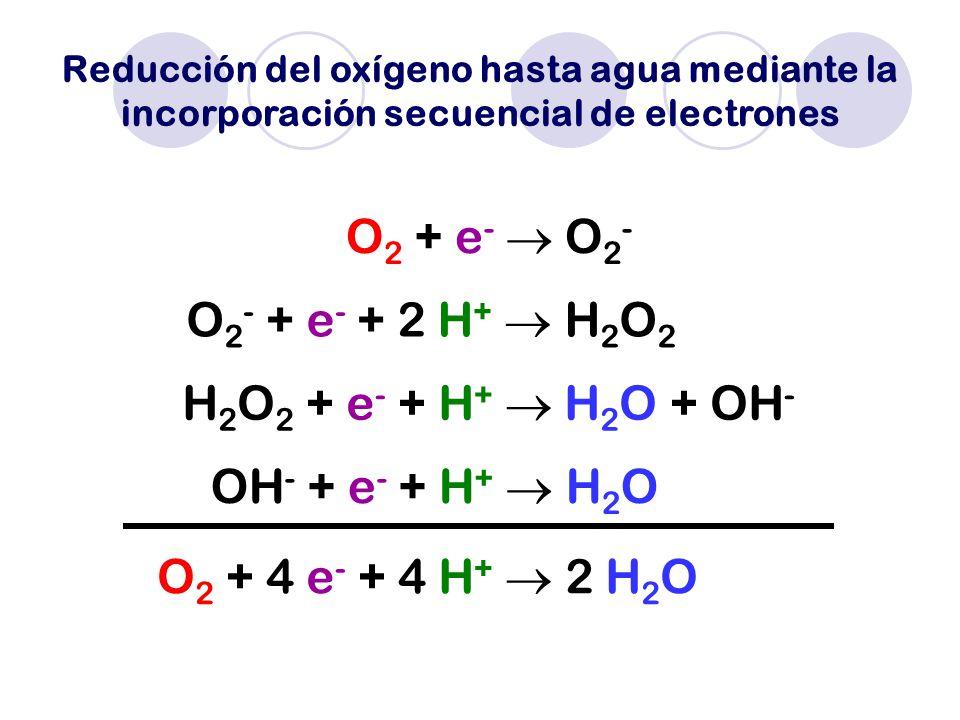 O2 + e-  O2- O2- + e- + 2 H+  H2O2 H2O2 + e- + H+  H2O + OH-