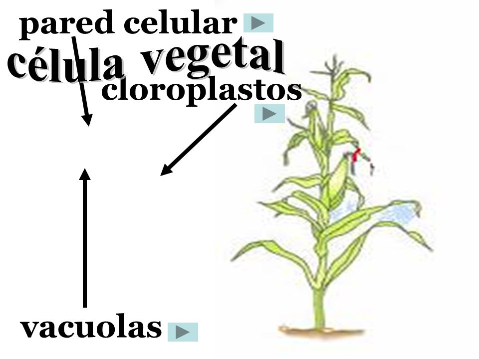 pared celular cloroplastos vacuolas