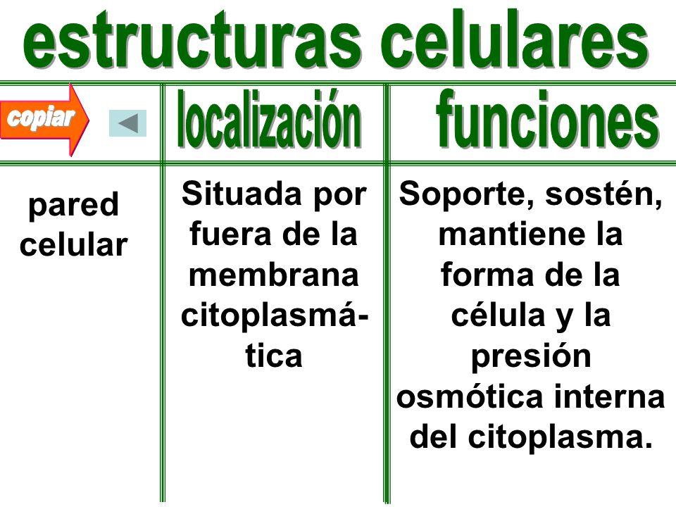estructuras celulares Situada por fuera de la membrana citoplasmá-tica