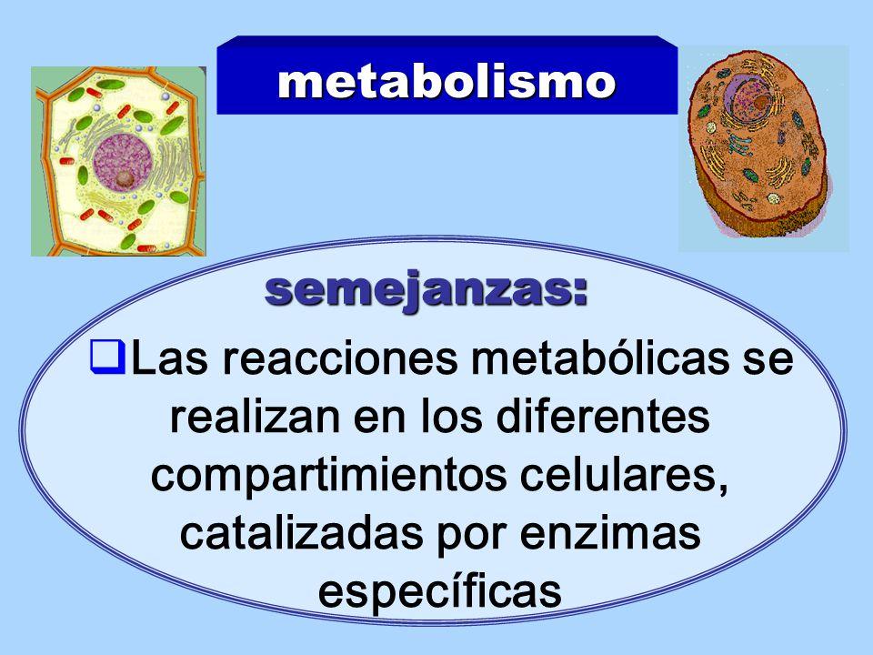 metabolismo semejanzas: Las reacciones metabólicas se realizan en los diferentes compartimientos celulares, catalizadas por enzimas específicas.