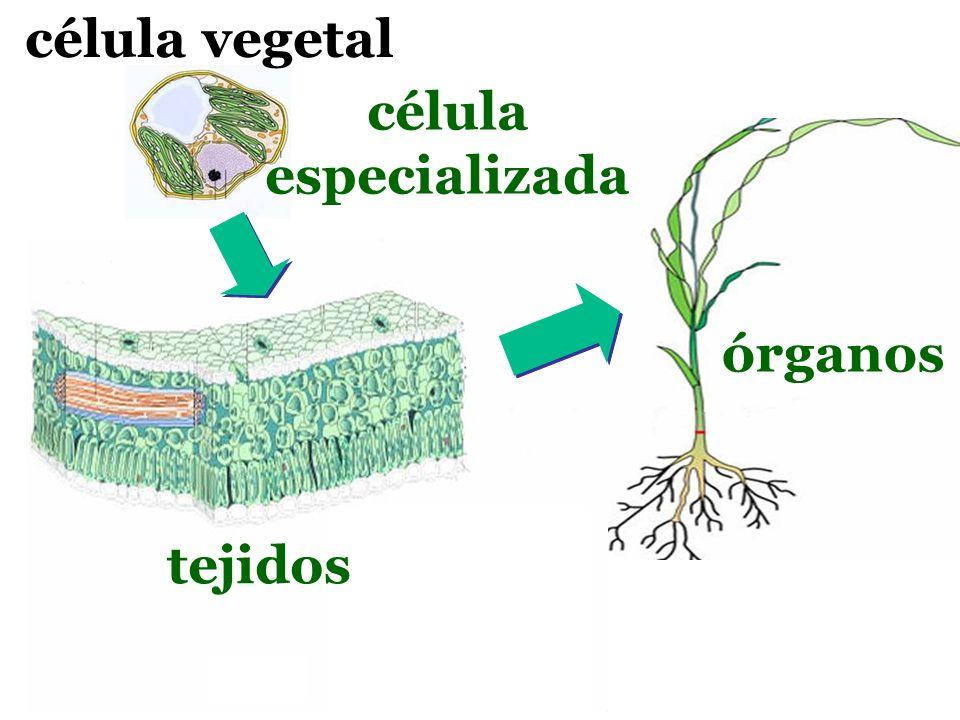 célula vegetal célula especializada órganos tejidos