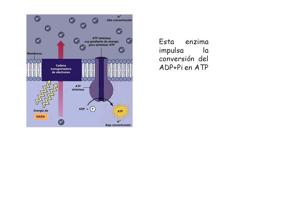 Esta enzima impulsa la conversión del ADP+Pi en ATP