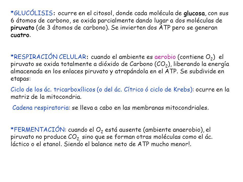 *GLUCÓLISIS: ocurre en el citosol, donde cada molécula de glucosa, con sus 6 átomos de carbono, se oxida parcialmente dando lugar a dos moléculas de piruvato (de 3 átomos de carbono). Se invierten dos ATP pero se generan cuatro.