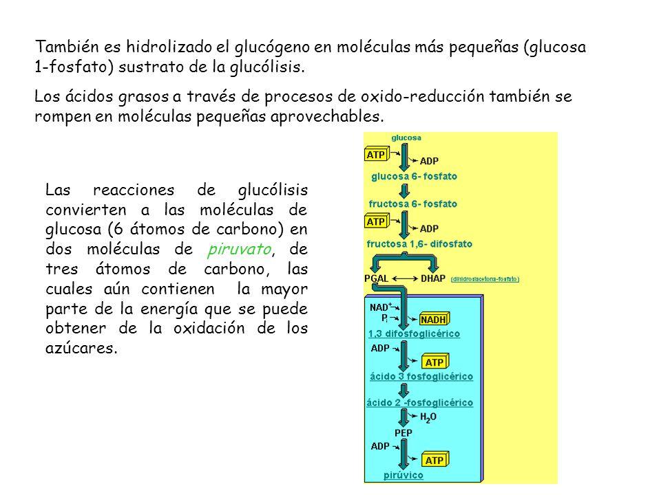También es hidrolizado el glucógeno en moléculas más pequeñas (glucosa 1-fosfato) sustrato de la glucólisis.
